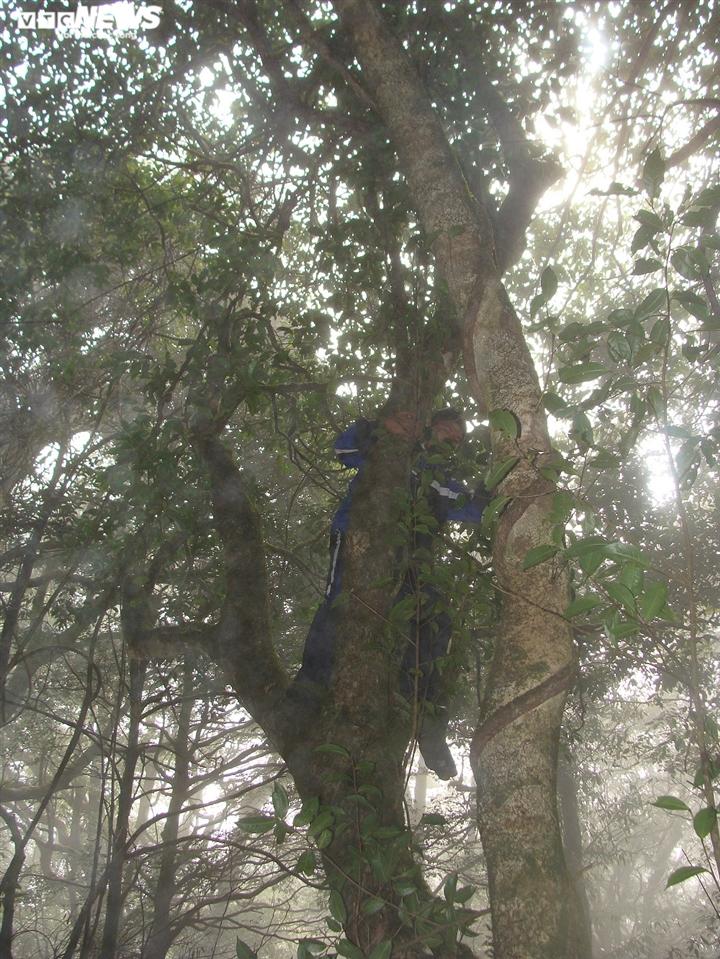 Bí ẩn từ những rừng chè shan tuyết ngàn năm tuổi trên đỉnh Fansipan - 2