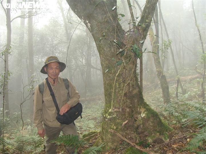 Bí ẩn từ những rừng chè shan tuyết ngàn năm tuổi trên đỉnh Fansipan - 7