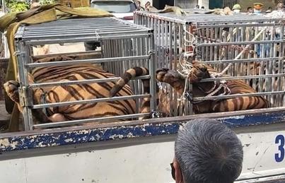Phát hiện 17 con hổ lớn nuôi nhốt trái phép trong khu dân cư ở Nghệ An
