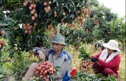 Xếp thứ 3 thế giới, quả vải Việt vẫn yếu thế vì chế biến kém