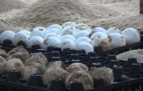 Hành trình 3 năm Cù Lao Chàm 'xin' 2.000 trứng rùa biển từ Côn Đảo