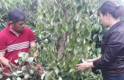 Kẻ xấu đột nhập, chặt phá 200 gốc tiêu tại Đắk Lăk