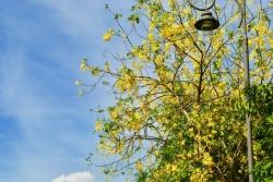 Ngẩn ngơ trước vẻ đẹp rực rỡ hoa bò cạp vàng nở rộ khắp cố đô Huế