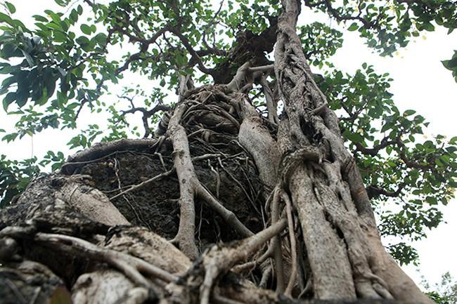 Chiêm ngưỡng sanh cổ 'Mộc thạch nghênh phong', đại gia đổi 8 lô đất Hà Nội không bán - Ảnh 10