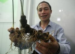 Sâm Ngọc Linh giá trăm triệu đồng được mang đi thi ở Quảng Nam