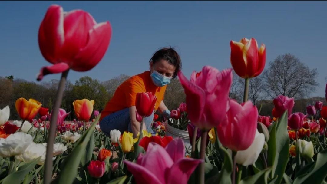 gan 400 trieu bong hoa tulip vo chu vi dai dich covid 19 o ha lan