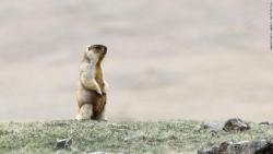 Sóc đất marmot - thủ phạm nghi gây bùng dịch hạch ở Trung Quốc và Mông Cổ