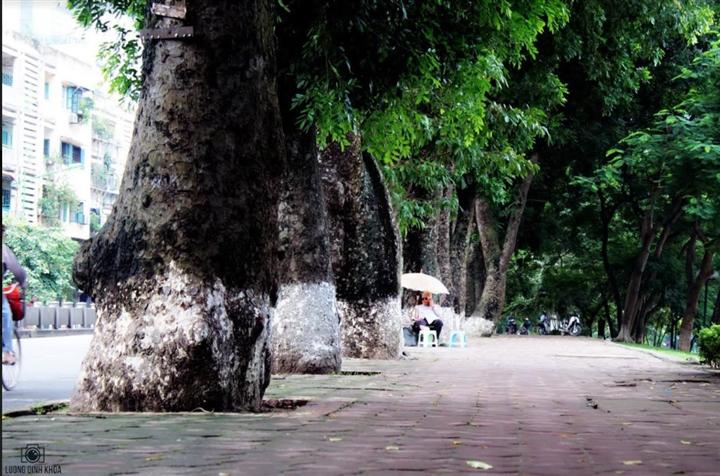 Tiếc nhớ hàng xà cừ cổ thụ trên đường Kim Mã - 2