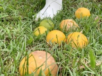 Xót xa cam đặc sản thối rụng đầy vườn sau mưa lũ ở Hà Tĩnh