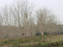 Đẹp ngỡ ngàng rừng cao su mùa thay lá miền giáp biên giới Lào