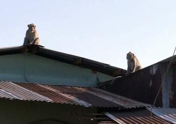 Đàn khỉ quấy phá khu dân cư Sài Gòn
