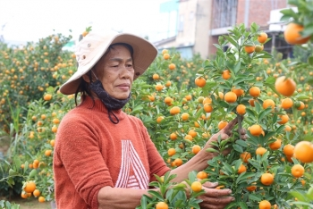Tết cận kề, nông dân thủ phủ quất cảnh miền Trung 'khóc ròng' chờ thương lái