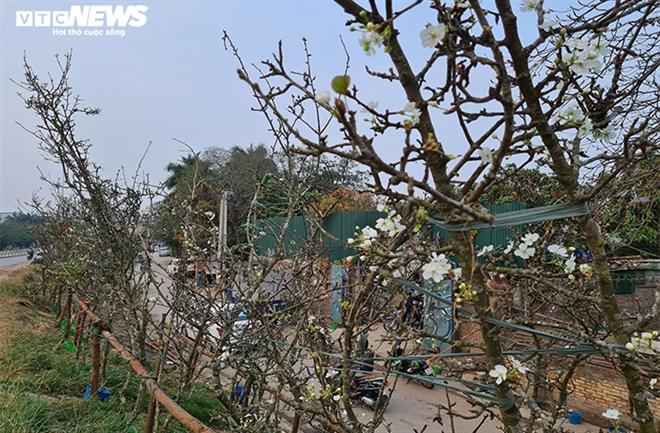 Đào, quất tàn sau Tết, đến lượt lê rừng tiền triệu hút khách Hà Nội - 4