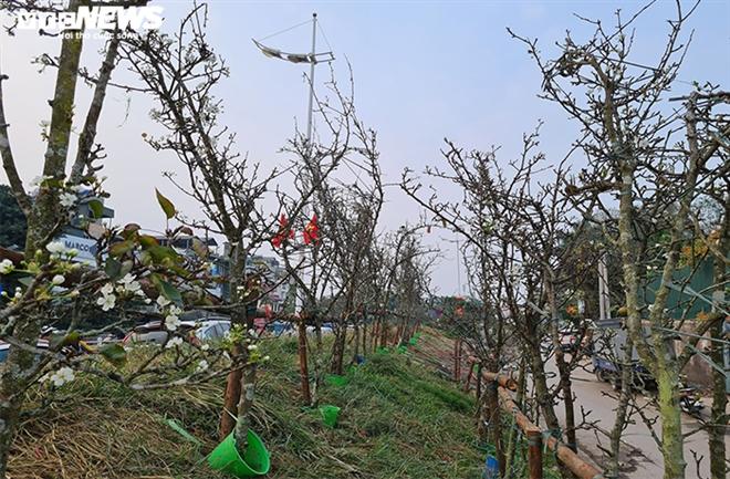 Đào, quất tàn sau Tết, đến lượt lê rừng tiền triệu hút khách Hà Nội - 5