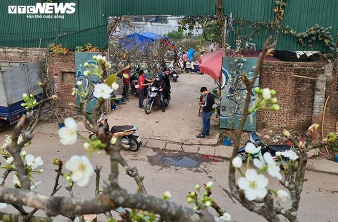 Đào, quất tàn sau Tết, đến lượt lê rừng tiền triệu hút khách Hà Nội - 6