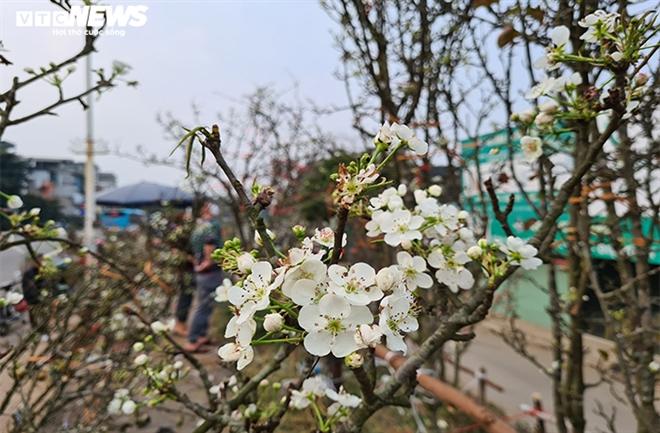 Đào, quất tàn sau Tết, đến lượt lê rừng tiền triệu hút khách Hà Nội - 8