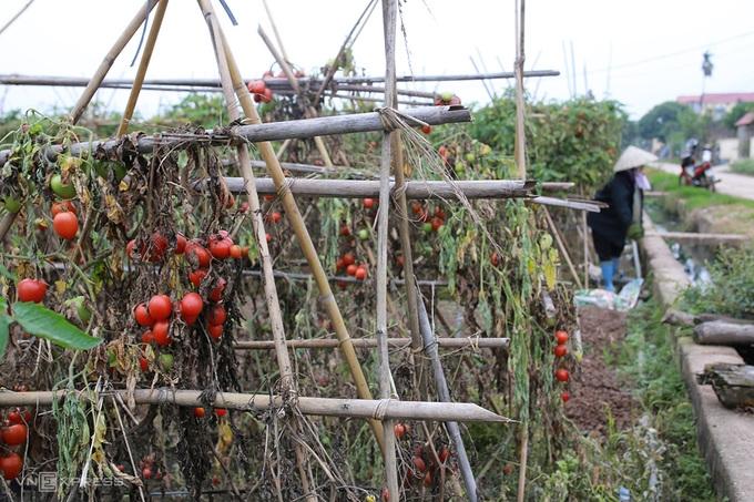 Nông dân Hà Nội đổ bỏ nhiều tấn rau, củ