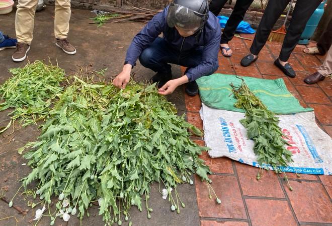Hà Nội: Xử lý nghiêm vụ trồng gần 400 cây anh túc để… ngâm rượu ảnh 4
