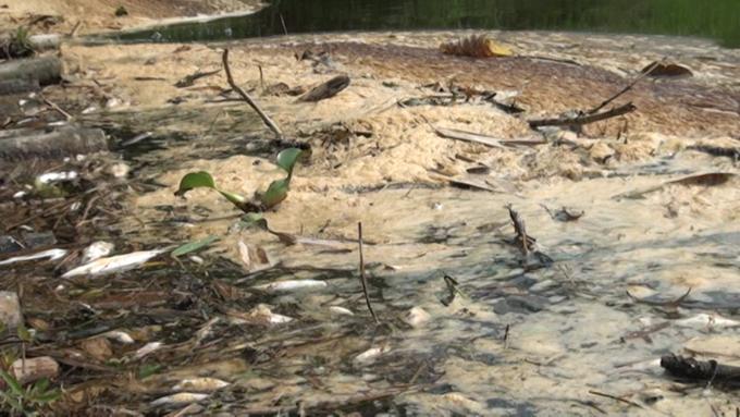 Nhà máy xả thải khiến cá tôm chết la liệt trên sông