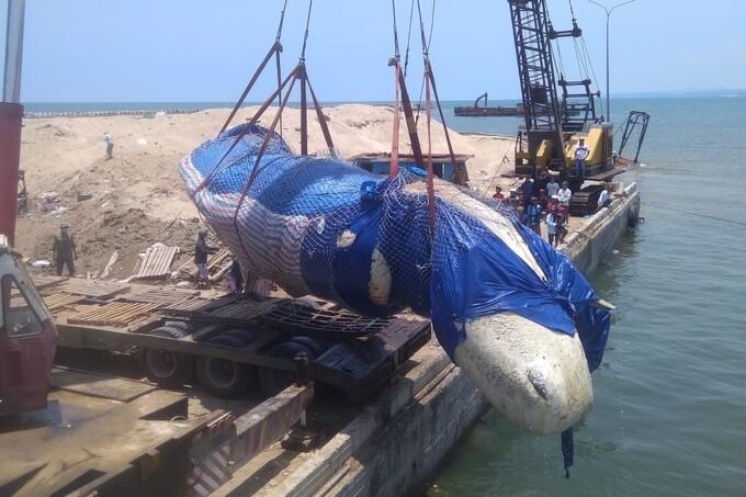 Cá voi 10 tấn được đưa vào bờ an táng
