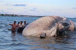 Cá 'Ông' khổng lồ 15 tấn 'lụy' biển Mũi Né, ngư dân mất 7 tiếng để đưa vào