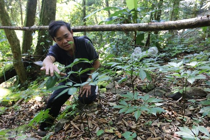 Những vườn sâm tiền tỷ được bảo vệ nghiêm ngặt