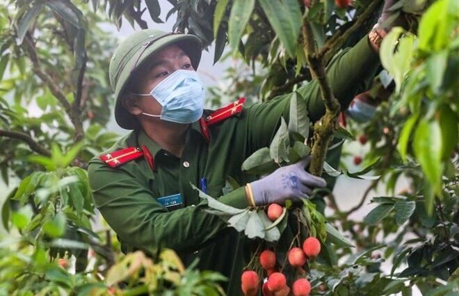 Công an Bắc Giang xắn tay giúp nông dân thu hoạch vải trong mùa COVID-19