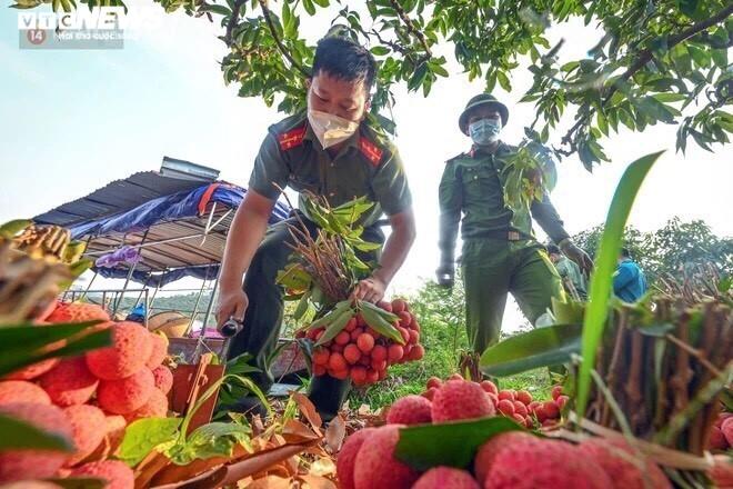 Công an Bắc Giang xắn tay giúp nông dân thu hoạch vải trong mùa COVID-19 - 7
