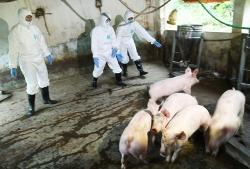 Việt Nam sẽ mở rộng nghiên cứu thí nghiệm văcxin phòng tả lợn châu Phi
