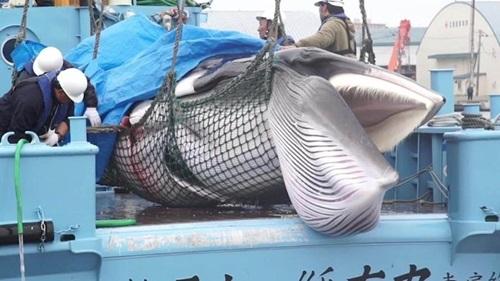 Nhật xẻ thịt con cá voi đầu tiên sau hơn 30 năm cấm đánh bắt thương mại