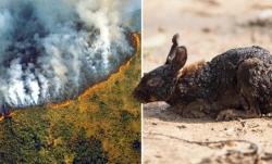 Cháy rừng Amazon đe dọa 265 loài động thực vật nguy cấp