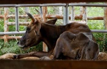 Đơn vị nào nhận nuôi đàn bò tót lai bị bỏ đói, gầy trơ xương ở Ninh Thuận?