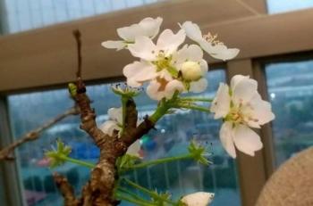 Hoa lê, đào rừng nở sớm hút khách Hà thành, người bán