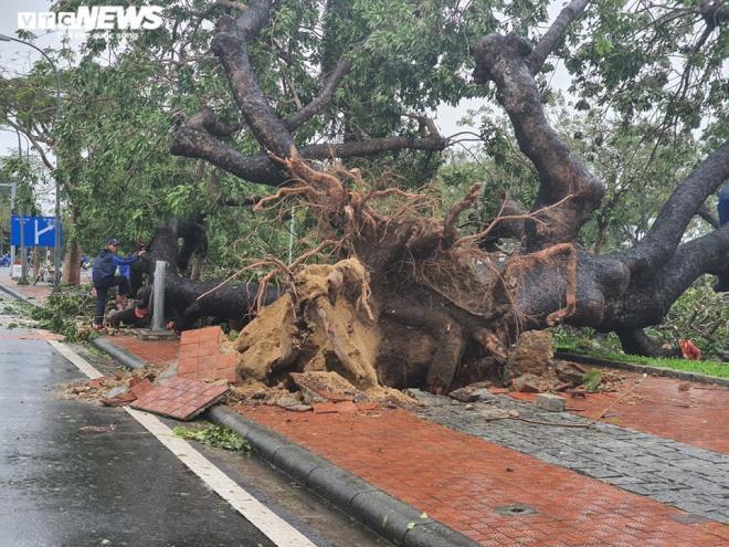 Thừa Thiên - Huế làm gì để cứu cây xà cừ cổ thụ bị bão số 13 quật đổ? - 2