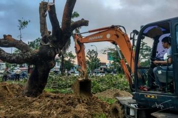 Thừa Thiên - Huế làm gì để cứu cây xà cừ cổ thụ bị bão số 13 quật đổ?