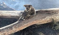 koala me bao ve con khoi dam chay rung
