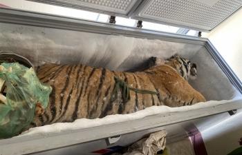 Phát hiện xác hổ 160 kg trong tủ đông lạnh ở nhà dân
