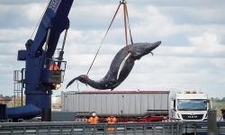 Cá voi lưng gù bị tàu đâm trên sông Thames