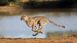 bao dom cheetah nguy co tuyet chung