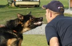 Bí mật loài chó nghiệp vụ cực kì tinh nhuệ của mật vụ Mỹ