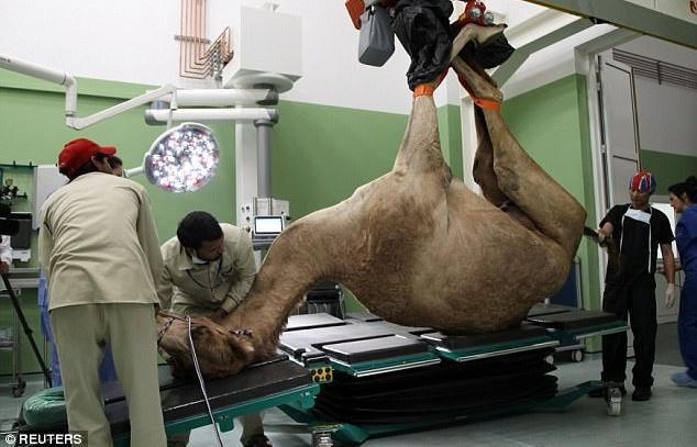 Bệnh viện xây hết 250 tỉ đồng chỉ để chăm lạc đà ở Dubai