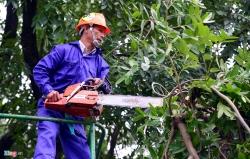 Chặt hạ, thay thế hơn 1.000 cây xà cừ để làm đường vành đai 3