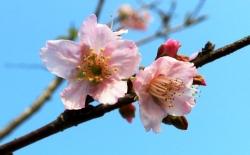 Gần 10.000 cành hoa anh đào trên đường đến Hải Phòng