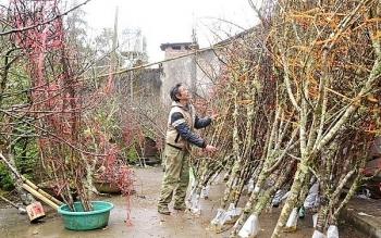 Vì sao Lào Cai không dán tem phân biệt đào rừng?