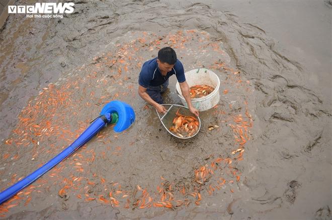 Ảnh: Hối hả lội bùn, nước thu hoạch cá chép đỏ trước ngày ông Công ông Táo