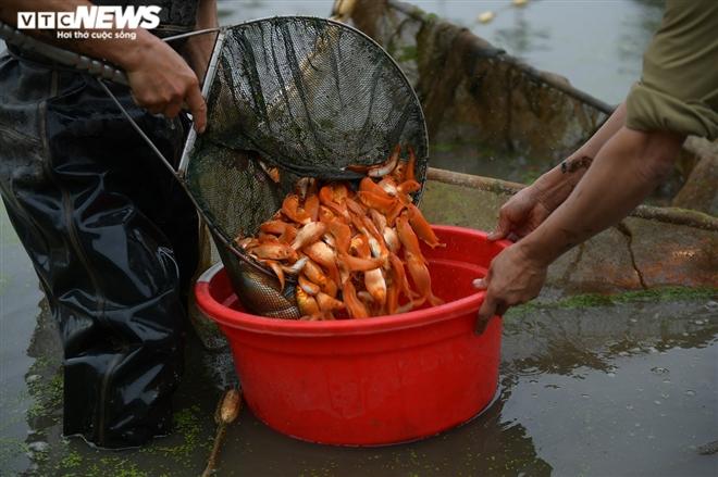Ảnh: Hối hả lội bùn, nước thu hoạch cá chép đỏ trước ngày ông Công ông Táo - 5