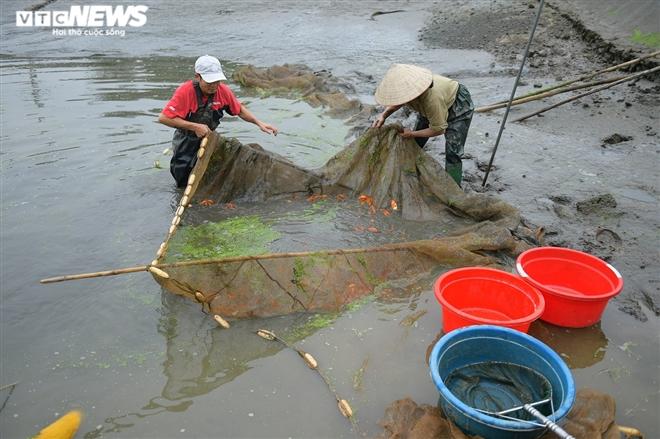 Ảnh: Hối hả lội bùn, nước thu hoạch cá chép đỏ trước ngày ông Công ông Táo - 6