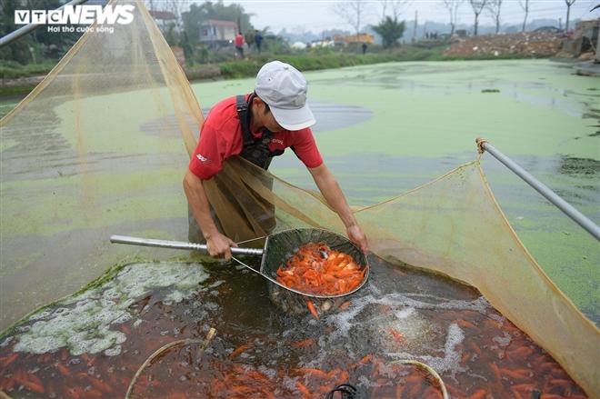 Ảnh: Hối hả lội bùn, nước thu hoạch cá chép đỏ trước ngày ông Công ông Táo - 8