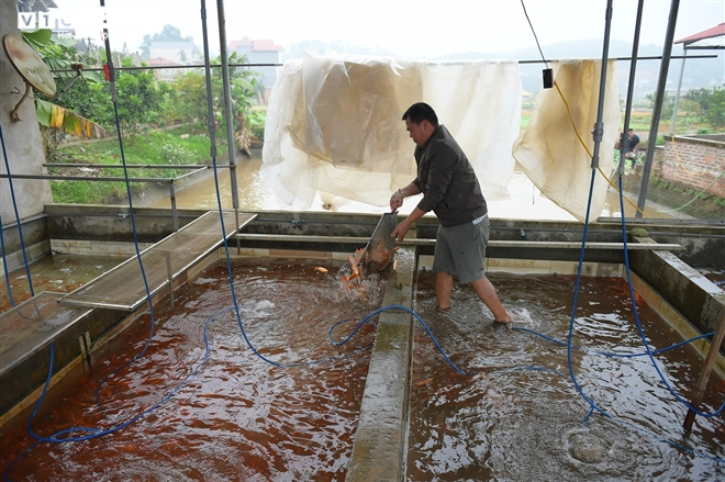 Ảnh: Hối hả lội bùn, nước thu hoạch cá chép đỏ trước ngày ông Công ông Táo - 9