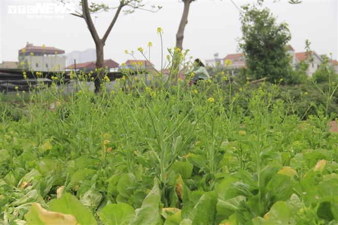 Hà Nội: Rau xanh rẻ như bèo, nông dân bỏ đầy đồng làm phân bón - 5